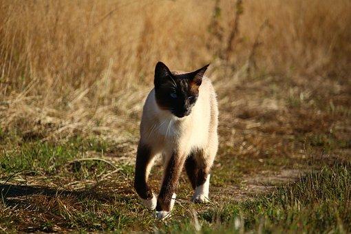 čierna čerešňa mačička
