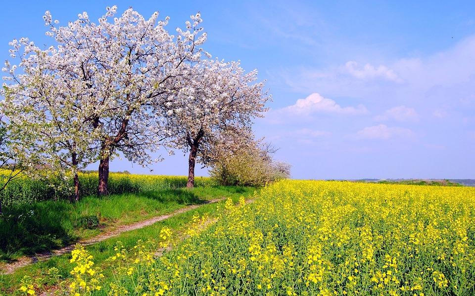 Rape Peach Blossom Country Spring Field