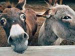 donkey, farm, animal