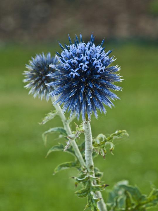 Thistle Ornamental Flower Free Photo On Pixabay