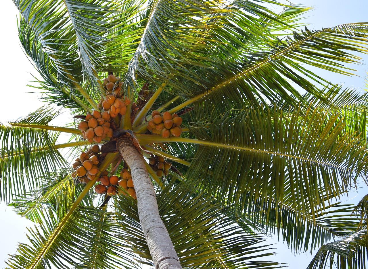 Пальмы кокосы картинки