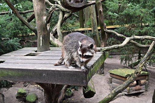 Animals, Raccoon, Outdoor Enclosures