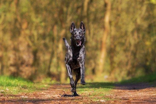Herder, Action, Dog, Animal, Dog Plays