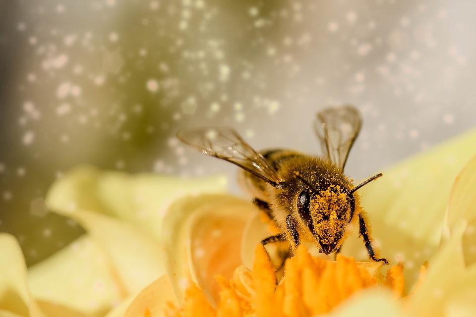 Biene, Insekt, Tier, Hautflügler, Hymenoptera, Blüte