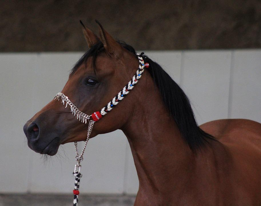 cheval arabe tete