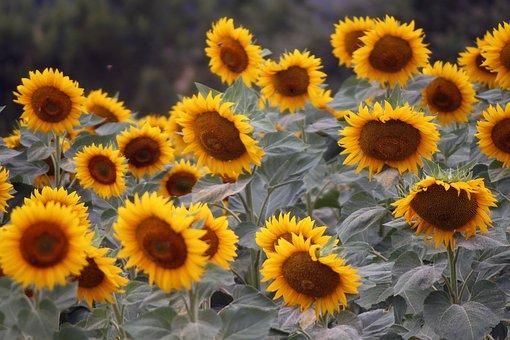 Nature, Sunflower, Yellow, Fields