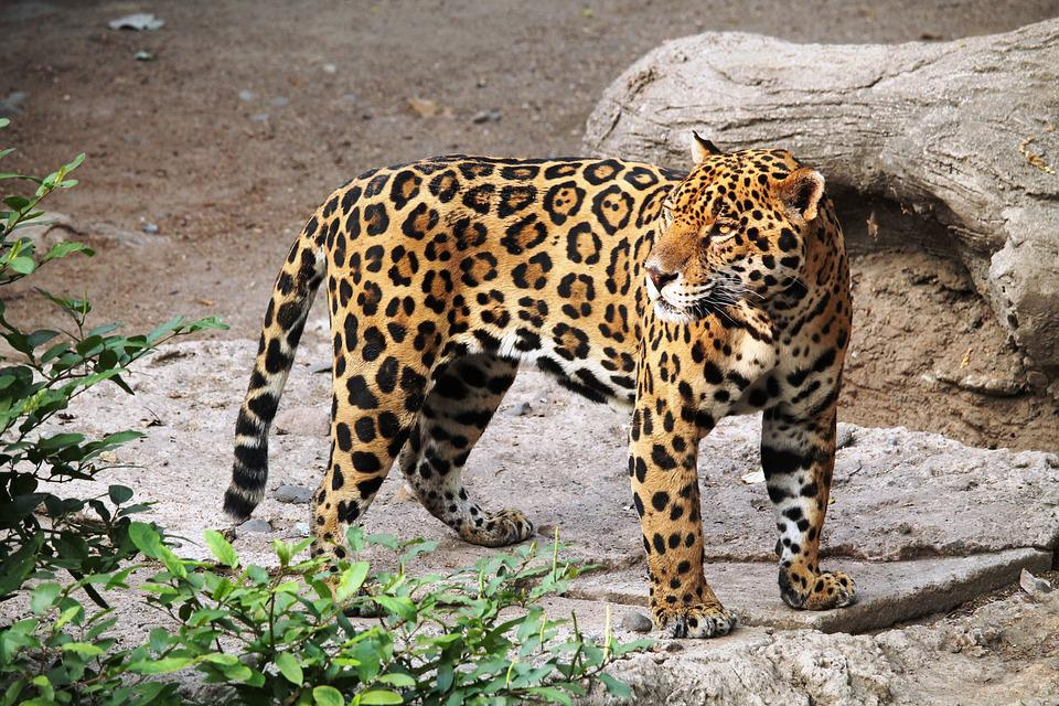 photo gratuite jaguar animal zoo nature f lin image gratuite sur pixabay 1727406. Black Bedroom Furniture Sets. Home Design Ideas