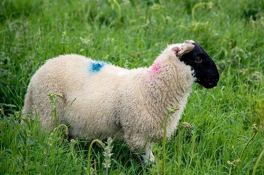 Schwarzkopf Owiec, Owiec, Charakter