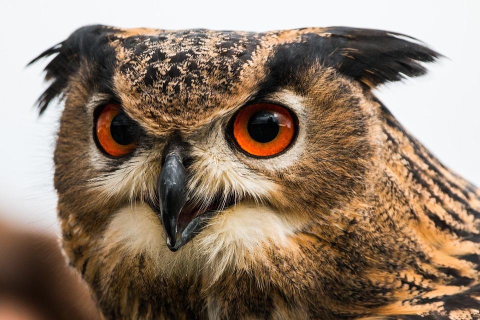 owl wallpaper download