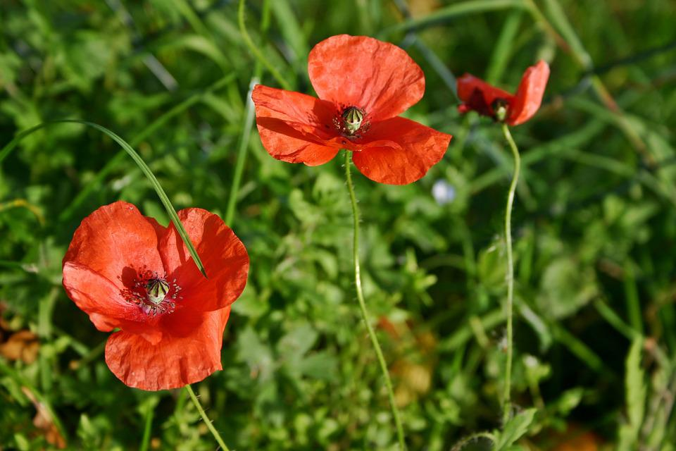 free photo poppy flower, poppy, blossom, bloom  free image on, Beautiful flower