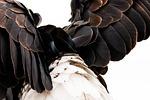 plumage, bald eagle, haliaeetus leucocephalus