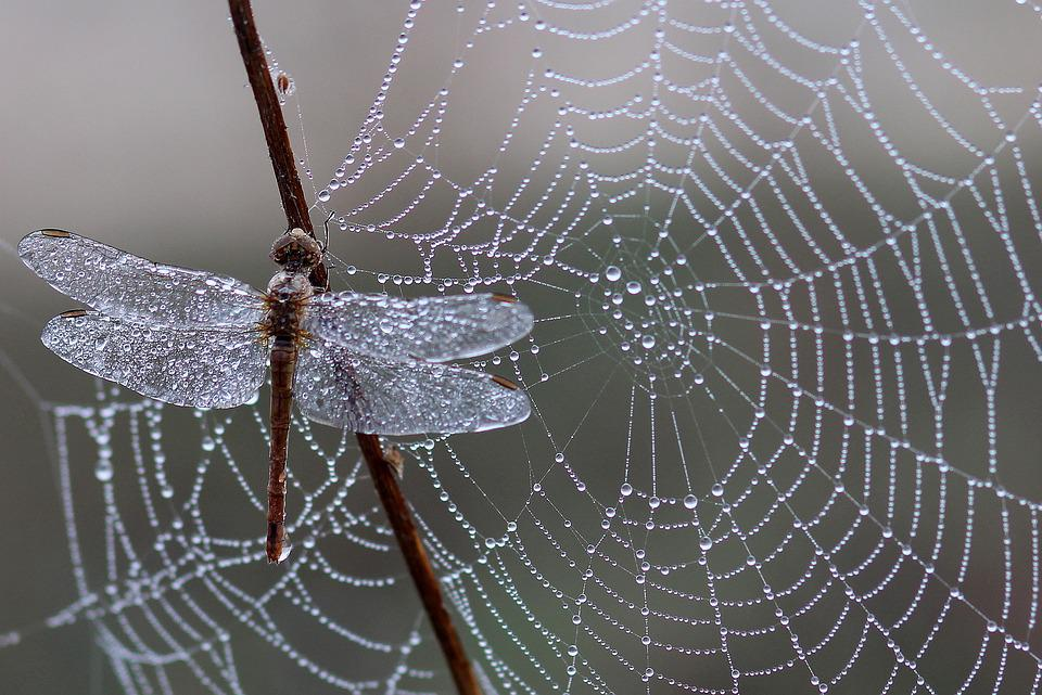 Dragonfly, Dew, Spider Web, Morning, Insect, Dewdrops