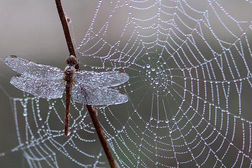 Dragonfly, Dew, Spider Web, Morning
