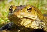 frog, toad