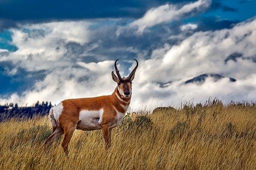 Pronghorn Deer, Animal, Wildlife