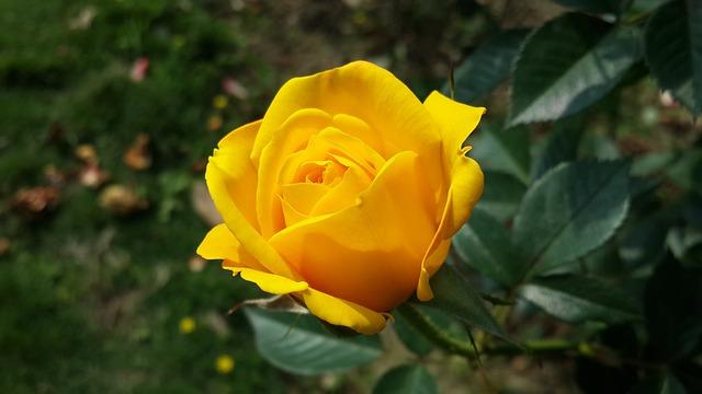 Sauth Hiroin Hd Photo 4128 2322 Downlod: Free Photo: Flower, Roses, Yellow, Morning