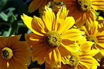 dahlia, flower, yellow