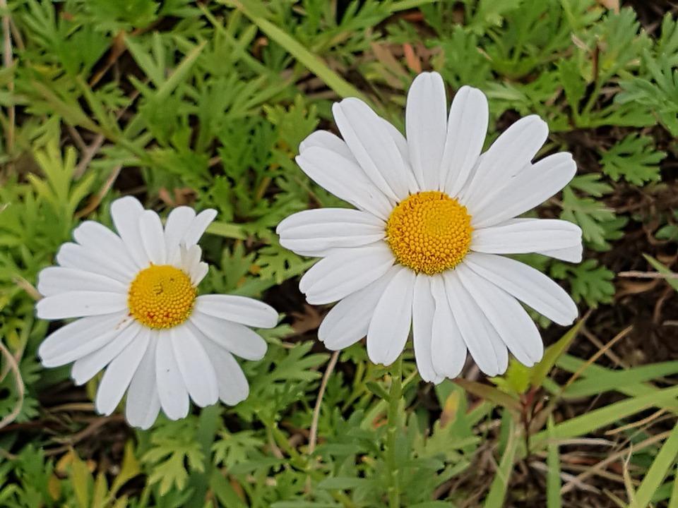 Flores De Otono Blancas Foto Gratis En Pixabay