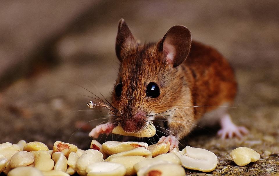 Maus, Nagetier, Niedlich, Säugetier, Nager, Natur, Tier