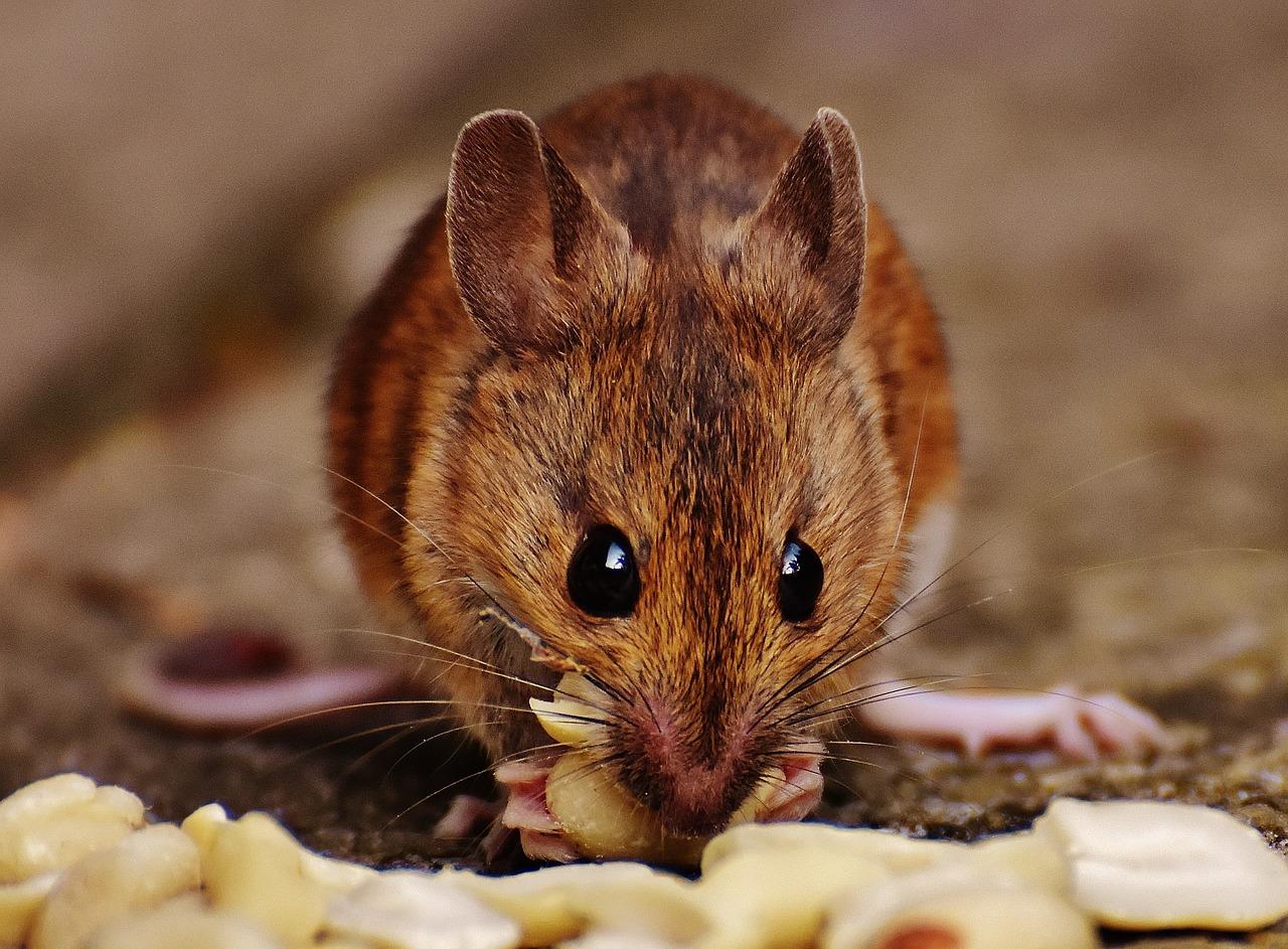 мыши грызуны фото договоритесь, что делать