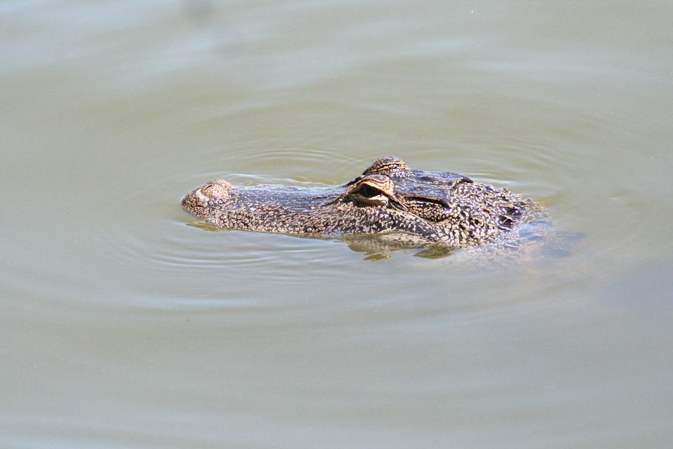 Alligator, Florida, Gator, Reptile, Nature, Wildlife