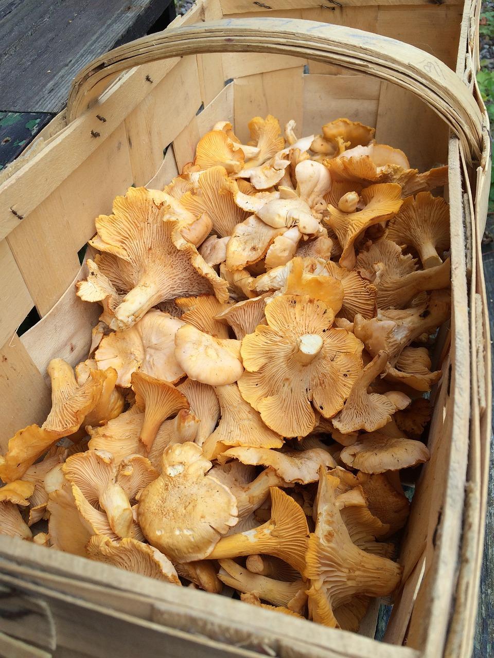 Photos of chanterelle mushrooms Chanterelle Mushroom Lookalikes - Know Your Chanties!