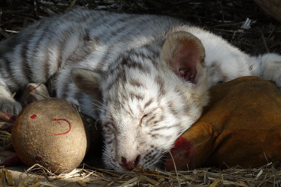 Foto anak harimau putih 33