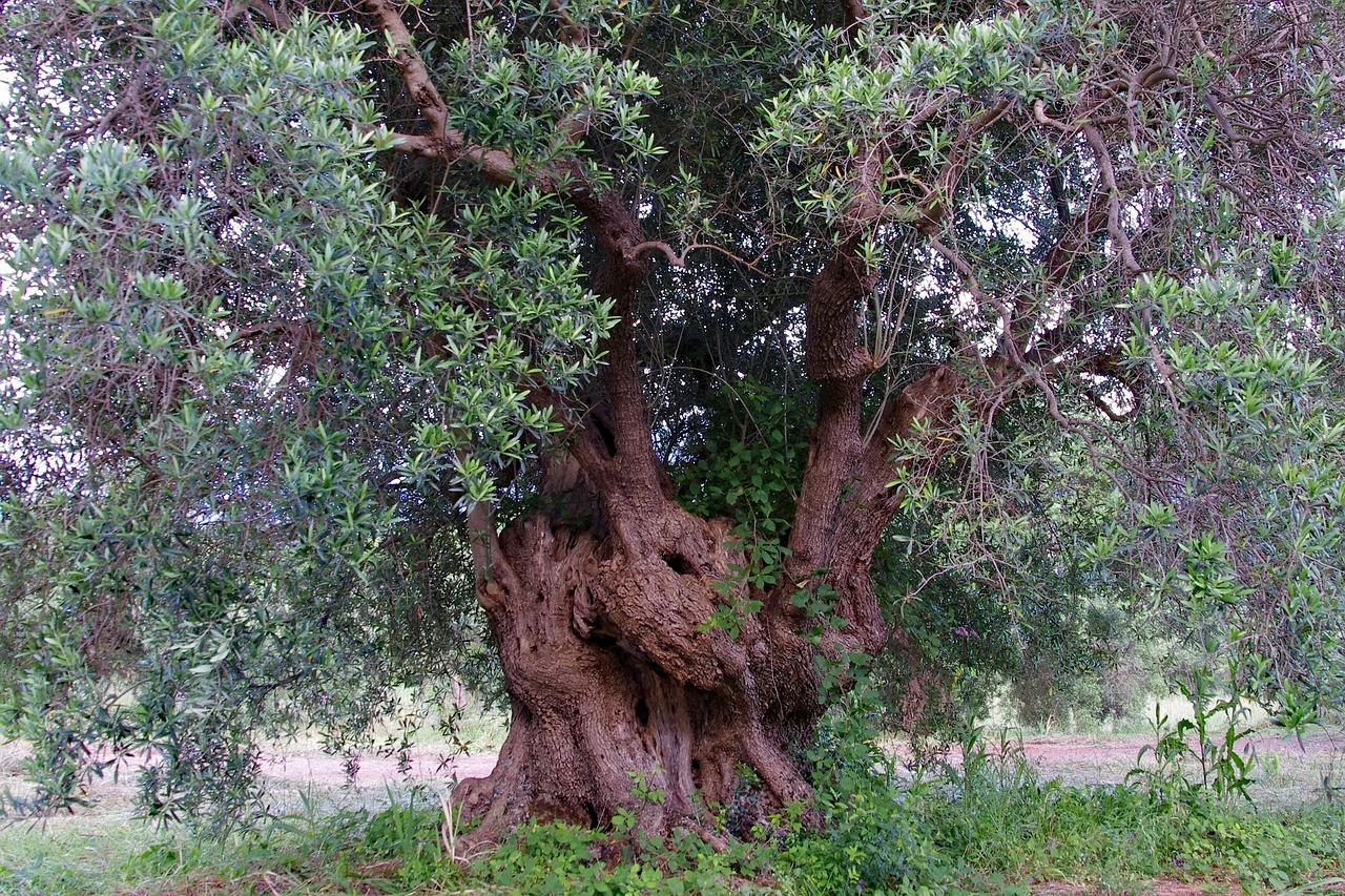 тот олива дерево фото рисунок клинопись, иероглифы