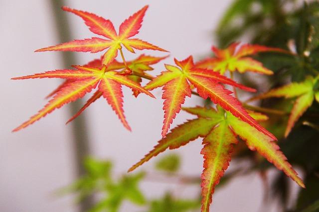 free photo autumn maple maple leave fall free image
