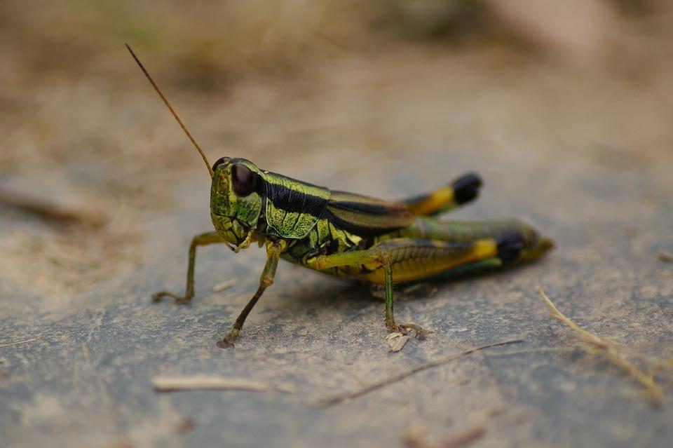 Sprinkhaan krekel groene gratis foto op pixabay sprinkhaan krekel groene natuur insect sluiten altavistaventures Images