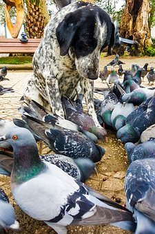 Dog, Pigeon, Animal, Bird, In Background