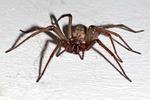pająk, kątnik domowy, straszne