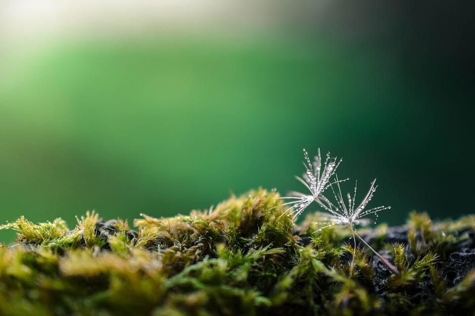 Löwenzahn Grün Natur Kostenloses Foto Auf Pixabay