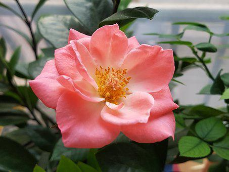 Rose, Flowers, Pink, Potted Plant