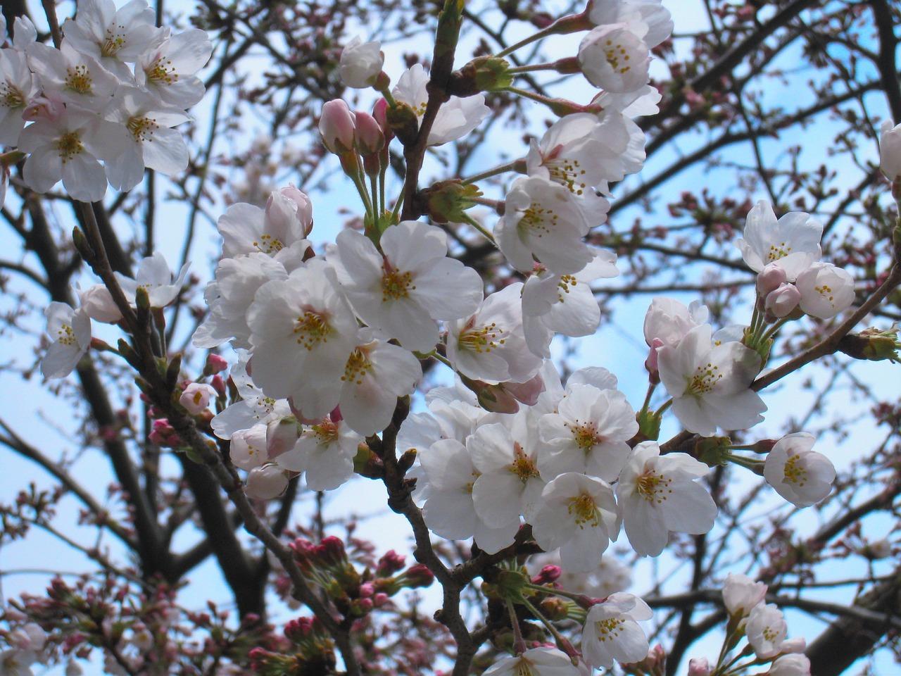 Картинка цветущее вишневое дерево