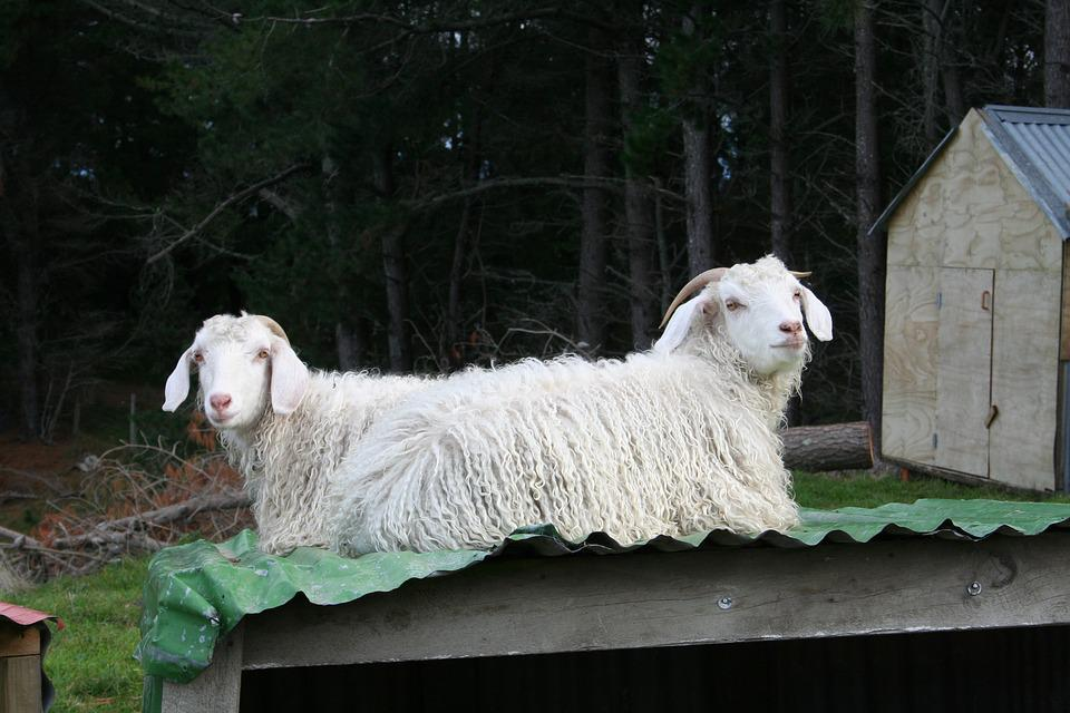 to mohair geiter