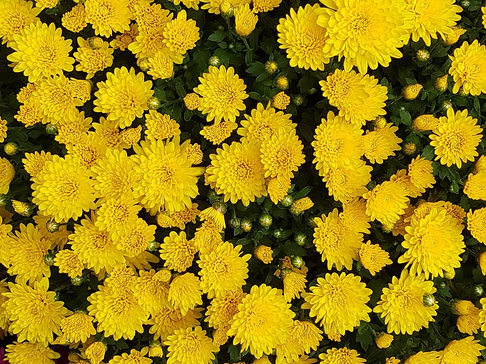 Free photo autumn chrysanthemum flowers free image on pixabay 1739783 - Flowers that bloom in autumn ...