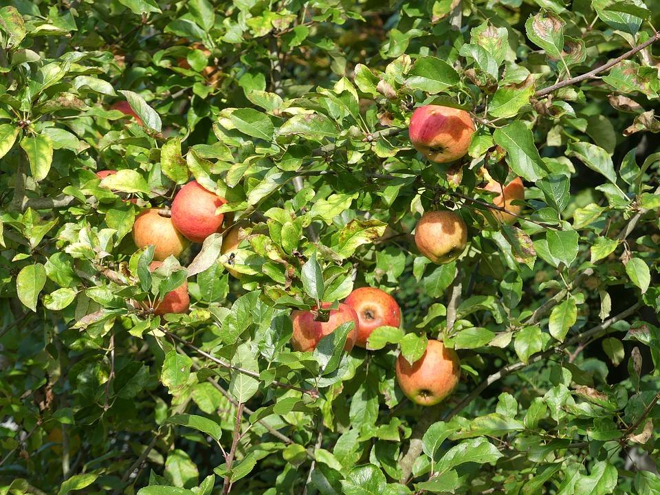 Obstbaum Apfelbaum Herbst - Kostenloses Foto auf Pixabay