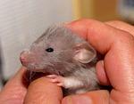 rat, baby, sweet