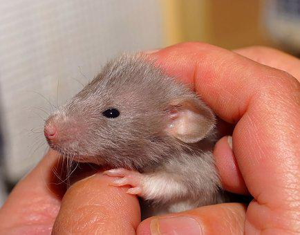 Rat, Baby, Sweet, Color Rat, Cute