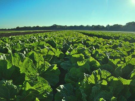 Salad, Salad Field, Field, Agriculture