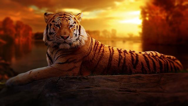 Love Animals Tigers Human Dude 1920x1080 Wallpaper Animals: Tiger Sunset Fantasy · Free Photo On Pixabay