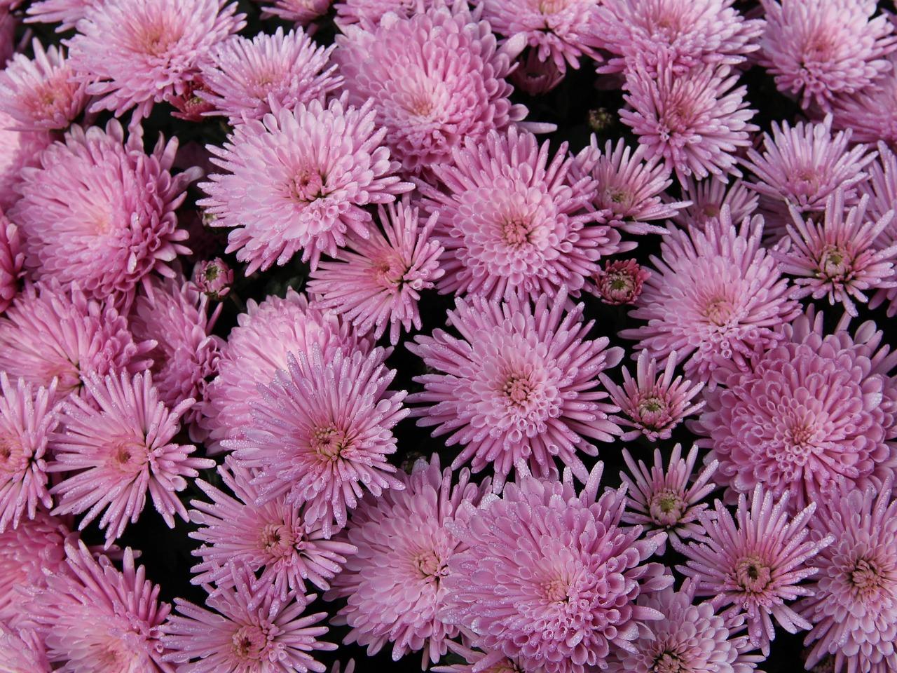 хризантемы бледно розовые с белым фото какое-то