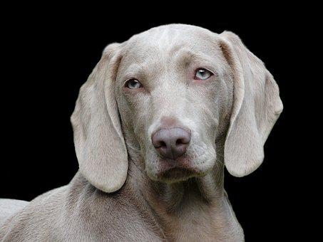 Dog Weimaraner Portrait Remote Access Dog