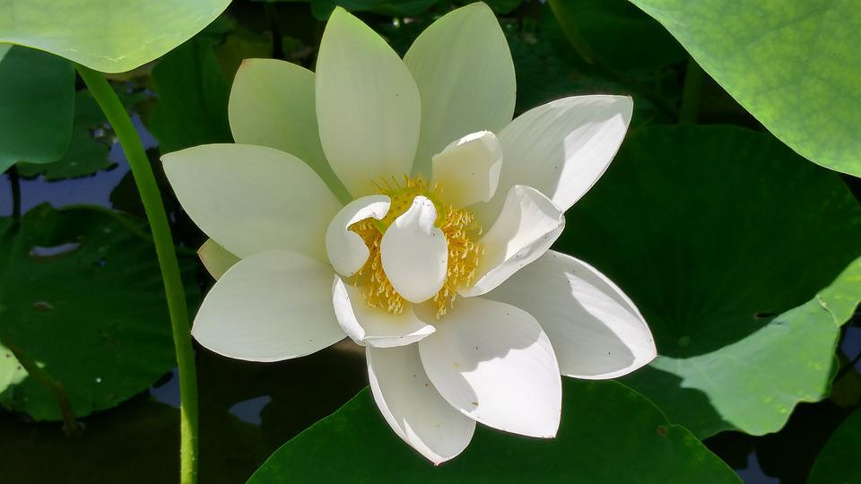 free photo white lotus, affix, lotus  free image on pixabay, Beautiful flower