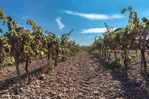 Fotoğraf : 15eube, asma, şarap, meyve, 0c7ilek, gıda, üretmek, tarım, dedikodu, çalı, 15earap yetiştiriciliği, mavi üzüm