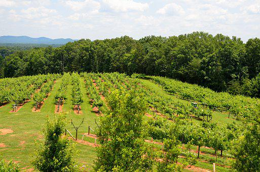 Vineyard, Winery, Landscape, Outdoors