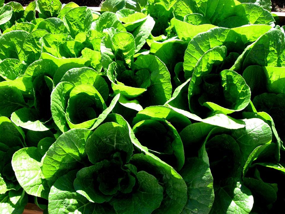 Napa Cabbage Garden Free photo on Pixabay