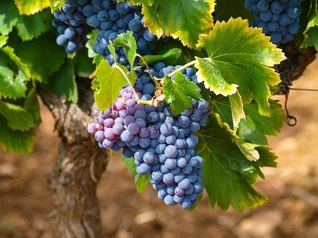 Vignes, Vignobles, Automne, Raisin