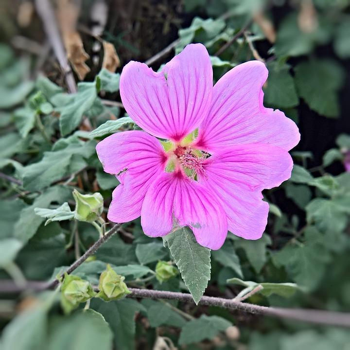 blomst haven hibiscus plante gratis foto p pixabay. Black Bedroom Furniture Sets. Home Design Ideas